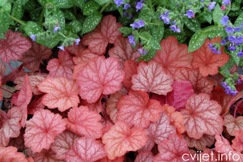 Heuchera_Georgia_Peach_5b[1].jpg